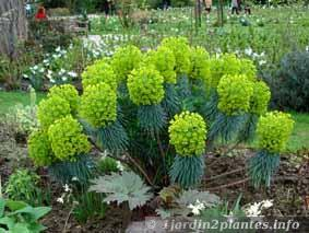 Une plante vivace euphorbe de m diterran e paperblog for Plante vivace verte