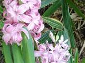 bulbe fleuri parfumé: jacinthe