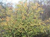 Ribes fasciculatum