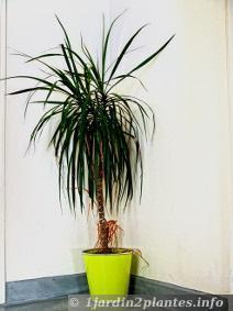 Une plante d 39 int rieur le dracaena marginata paperblog for Grande plante d interieur facile d entretien