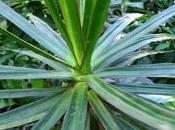 plante d'intérieur: dracaena marginata