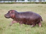 L'énigme massacre hippopotames nains