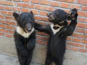 Dans cirques chinois, méthodes dressage cruelles violentes