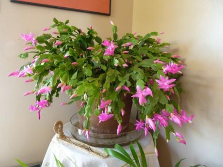 Schlumbergera-plante