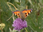 Nectar papillons