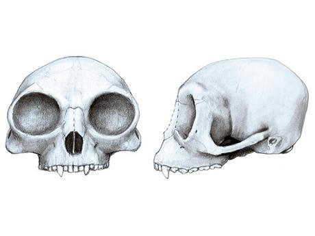 Pliobates catalonia, Marta Palmero, Institut Catalá de Paleontologia Miquel Crusafont (ICP) (2)