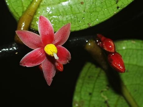 Sirdavidia solannona, Thomas Couvreur (3)