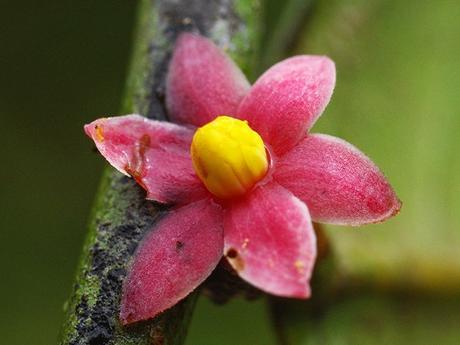 Sirdavidia solannona, Thomas Couvreur