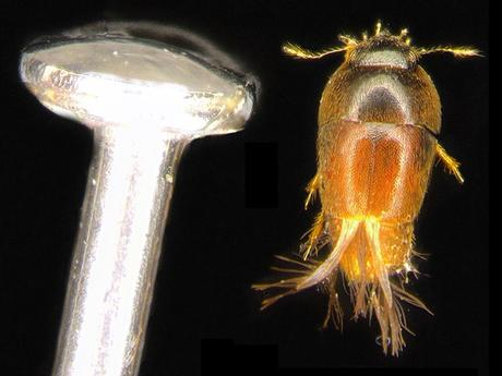 Phytotelmatrichis osopaddington, Michael Darby