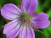 Géranium colombin (Geranium colombinum)