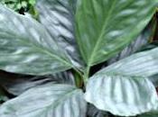 Chamaedorea metallica petit palmier cultivé comme plante verte