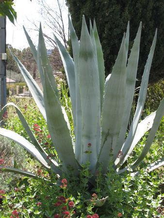 Des plantes grises qui sont si jolies paperblog - Plantes qui ne craignent pas le gel ...