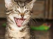 chats tirent langue