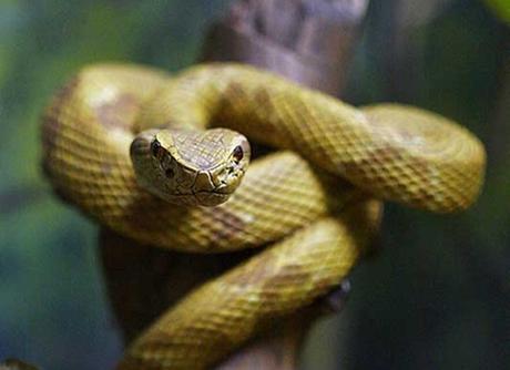 record plus dangereux serpent du monde