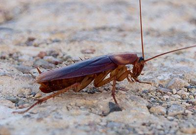 A photograph of an American cockroach, the species used in the study