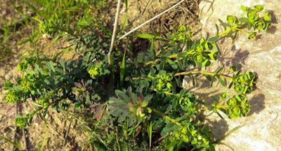 Euphorbe de Portland (Euphorbia portlandica)