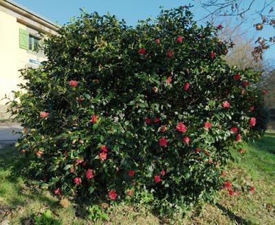 Camélia du Japon (Camellia japonica)