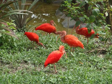 Ibis rouge, les perroquets en plein vol