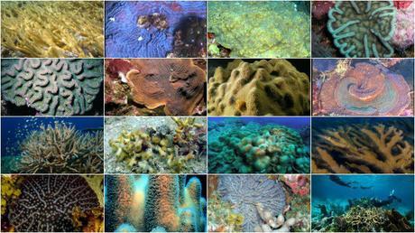 Les seize espèces de coraux protégées par un arrêté ministériel © DR