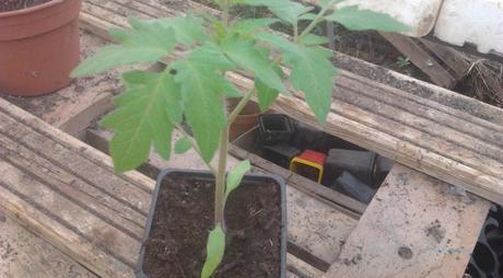 Acclimatez vos plants de légumes