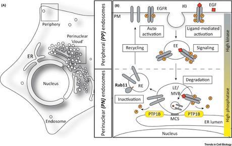 #trendsincellbiology #endosome S'arrêter ou y aller ? Positionnement de l'endosome dans l'établissement de l'architecture du Compartiment, de la dynamique et de la fonction