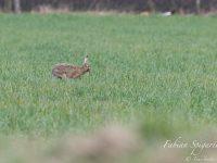 Les oreilles dressées et à l'affut du moindre bruit suspect, le lièvre est sorti de sa réserve forestière pour s'offrir un repas de fête dans un champ verdoyant.