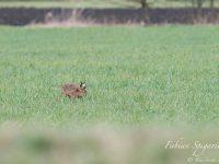 Discret et prudent, le lièvre prospecte dans le champ à la recherche des meilleures herbes à se mettre sous la dent.