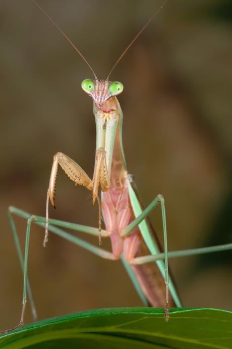 Chez les mantes religieuses, les mâles préfèrent les femelles bien en chair