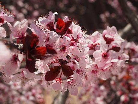 Sous les cerisiers en fleurs du Japon – Le hanami