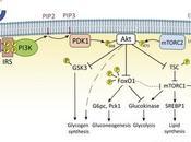 #trendsinendocrinologyandmetabolism #foie #métabolisme #insuline #glucose Mise évidence régulation métabolisme foie l'insuline