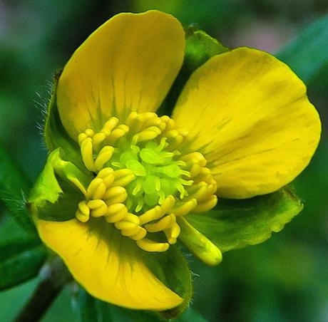 Renoncule tête d'or (Ranunculus auricomus)