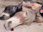 têtes d'ânes découvertes Dwala