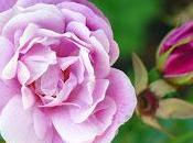 Starnbergersee: roses l'île (Roseninsel). photographies