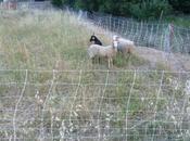 Deux moutons, chevre, dans village