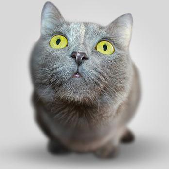 Connaissez-vous l'origine de votre chat ?