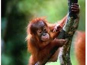 Bébé orang-outang joue fantômes