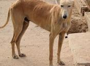 Lince galgo sable demi l'adoption l'association chiens galgos