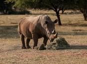 Léger recul braconnage rhinocéros Afrique