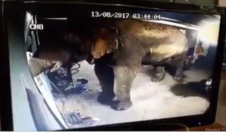 Hua Hin, raids audacieux d'éléphants sur la cooperative de Durian (vidéo)