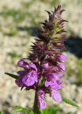 Épiaire des marais (Stachys palustris)