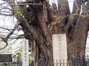 L'histoire Ginkgo Biloba, l'arbre plus mystérieux toute création