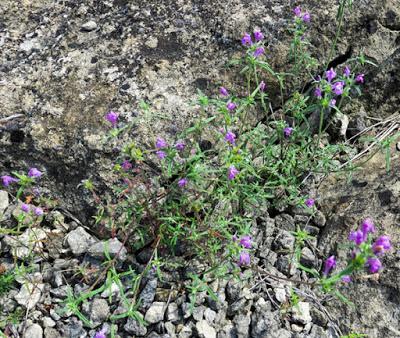 Galéopsis à feuilles étroites (Galeopsis angustifolia)