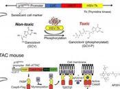 CURE JOUVENCE Eliminer cellules sénescentes pour prolonger