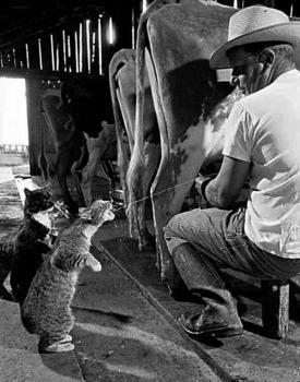 chats boivent le lait au pi de la vache
