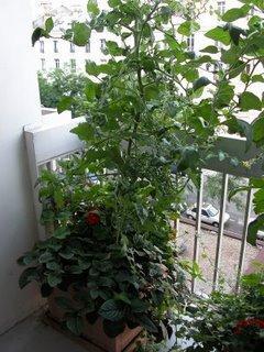 mes petits secrets pour r colter plein de tomates cerises voir. Black Bedroom Furniture Sets. Home Design Ideas