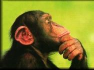 chimpanzé 6
