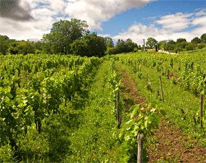 vigne auvergne