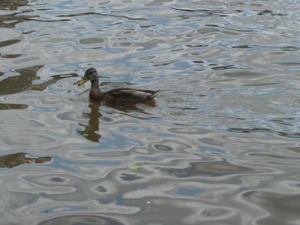 Canard au confluent Sambre et Meuse à Namur