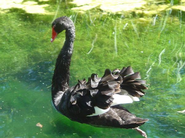 Cygne Noir sur le grand canal des Jardins d'Annevoie