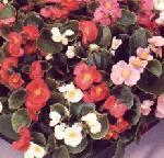 begonias1